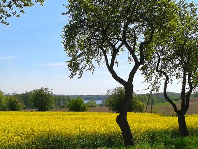 Rapsfeld und See
