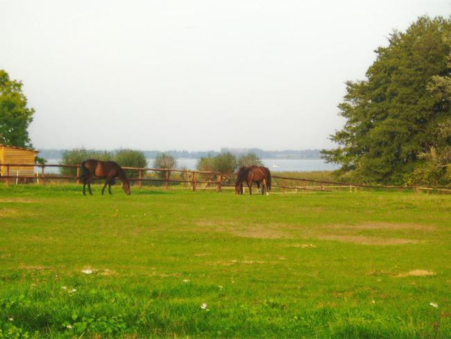 Pferde auf der Koppel am Plauer See