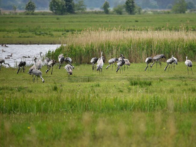 Vogelschutzinsel Kirr & Kranichparadies