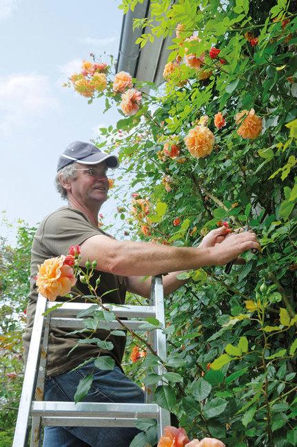 Gärtner bei den Rosen