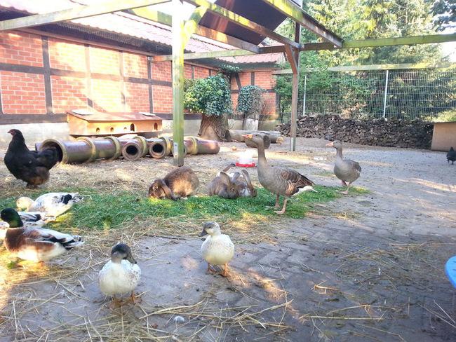 Hoftiere - Gänse, Enten, Hühner und Kaninchen
